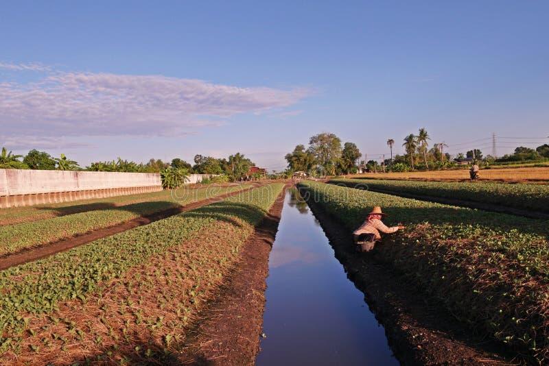 De landbouwer werkt in landbouwbedrijf, Chinese boerenkoolcultivition in lage landvoorwaarde royalty-vrije stock foto