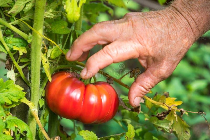 De Landbouwers die van de tomatenoogst tomaten met de hand plukken stock foto