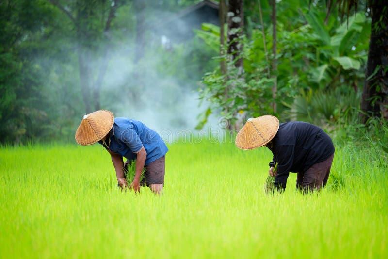 De landbouwers kweken rijst die in het regenachtige seizoen in padieveld werken E royalty-vrije stock afbeeldingen