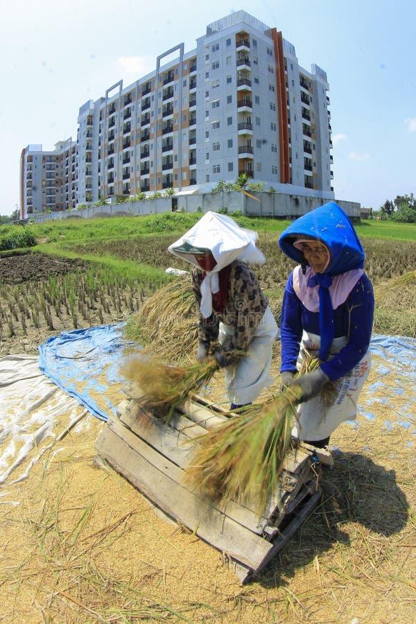 De landbouwers oogsten Rijst in het Blijven Land stock afbeeldingen
