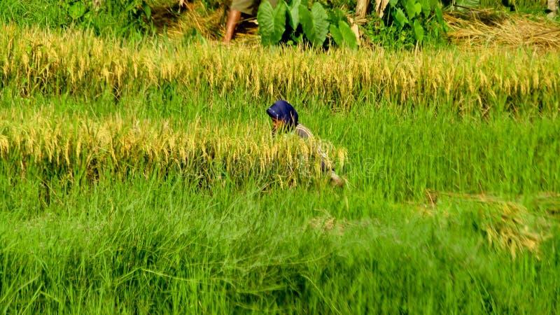 De landbouwers oogsten rijst op padiegebieden royalty-vrije stock foto's