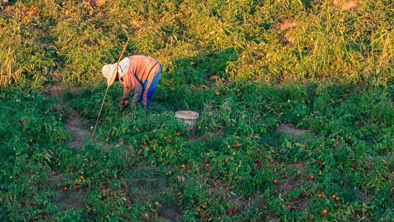 De landbouwers oogsten tomaten stock foto's