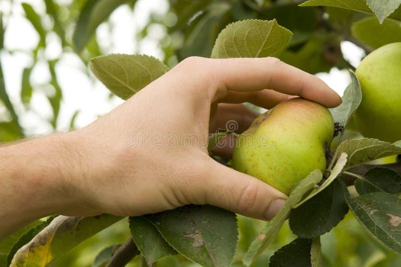 De landbouwers overhandigen het houden van een appel in de appelboom stock fotografie