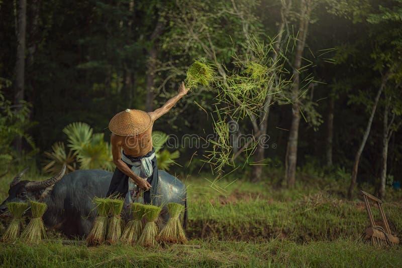 De landbouwers van Azië bereiden rijst voor het planten op de gebieden voor stock foto's