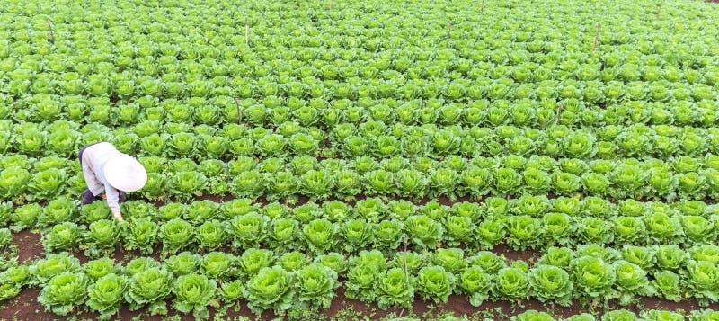 De landbouwers van de vrouwenboer met gebieden van kool stock afbeeldingen