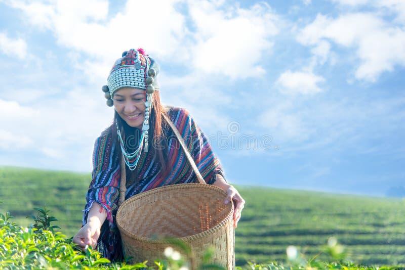 De landbouwersmensen vormen Indische Aziatische vrouw het werk en het plukken theebladaard royalty-vrije stock foto's