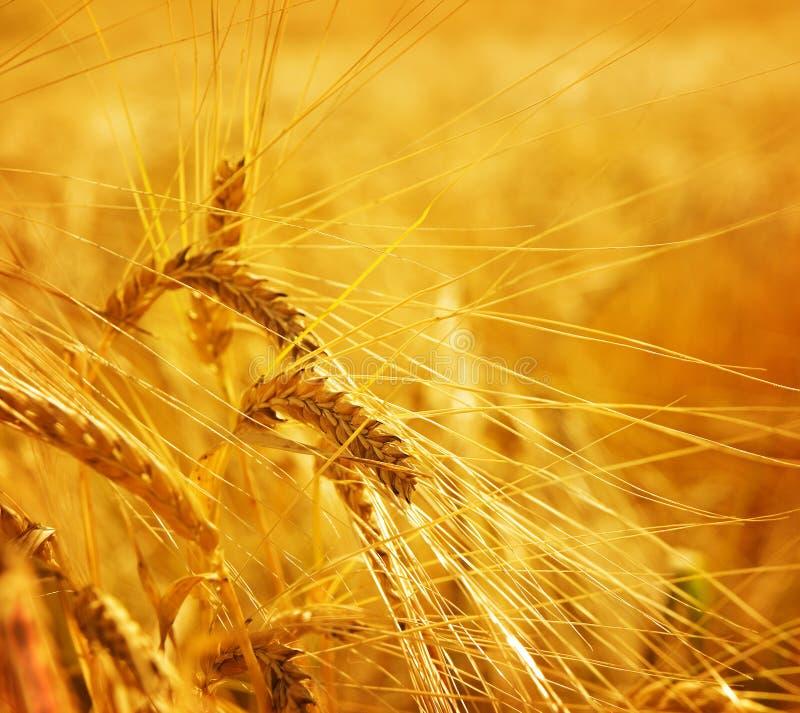 De landbouwgrond van de de korrellandbouw van de tarwe stock afbeeldingen