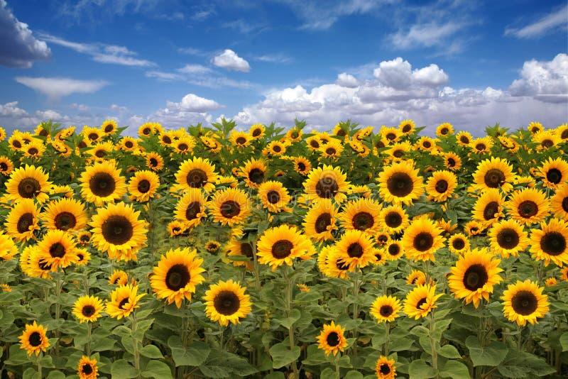 De Landbouwgrond van de zonnebloem met Blauwe Bewolkte Hemel royalty-vrije stock foto