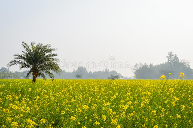 De landschapsmening van de Gele verzameling van het kleurenraapzaad bloeit op de horizon van bosnadia, West-Bengalen, India stock afbeelding