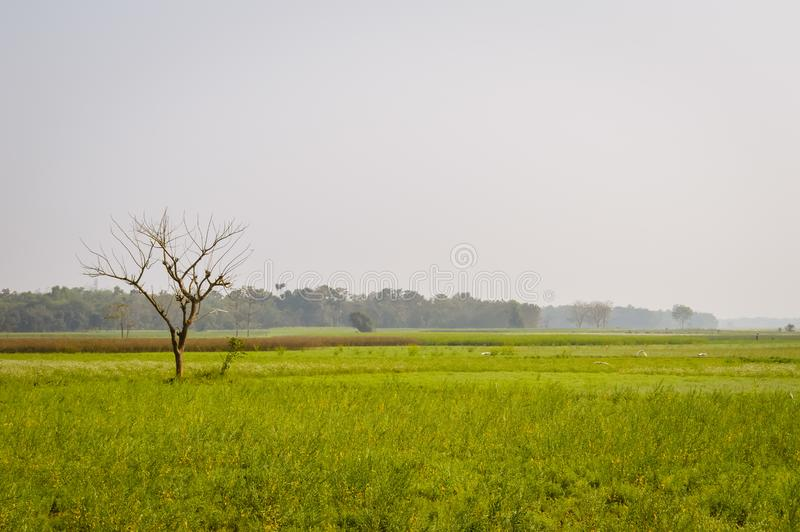 De landschapsmening van de Gele verzameling van het kleurenraapzaad bloeit op de horizon van bosnadia, West-Bengalen, India royalty-vrije stock foto's