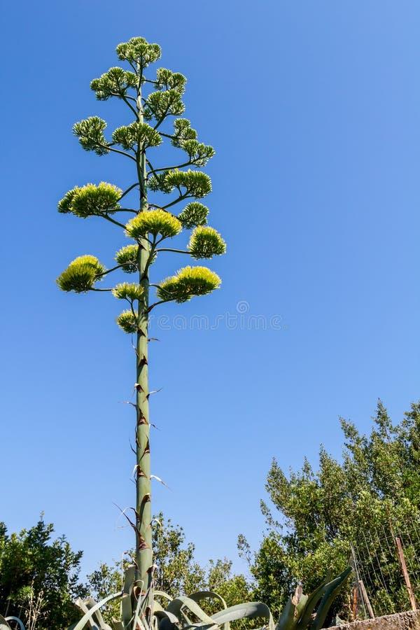 De lange gele bloem van Aloëvera, bloeiende vegetatie royalty-vrije stock afbeeldingen