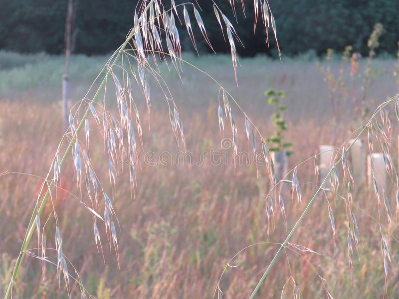 De lange lange grassen vangen het licht van de het plaatsen zon royalty-vrije stock fotografie