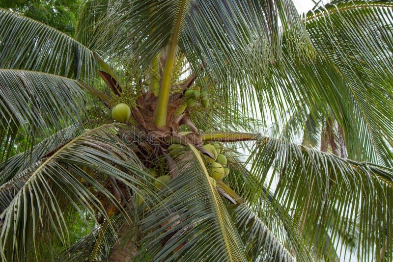 De lange palmen met kokosnoten sluiten omhoog Tropische aard Tropische wildernis Kustkokospalmen royalty-vrije stock foto's