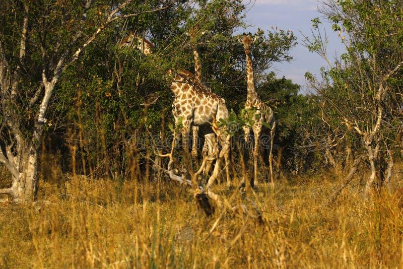 De langste het zoogdiergiraffen van de wereld in de Afrikaanse struik stock afbeeldingen