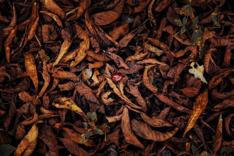 De langzaam verdwenen boom van de gebladertekastanje stock afbeelding