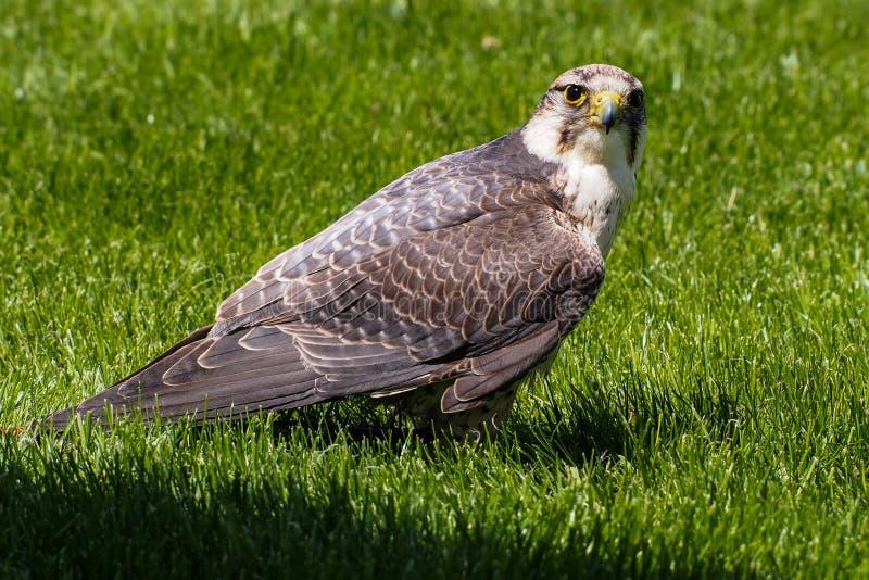 De lannervalk, Falco-biarmicus in een Duits aardpark royalty-vrije stock foto's