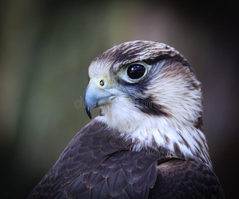 De lannervalk, Falco-biarmicus stock afbeelding