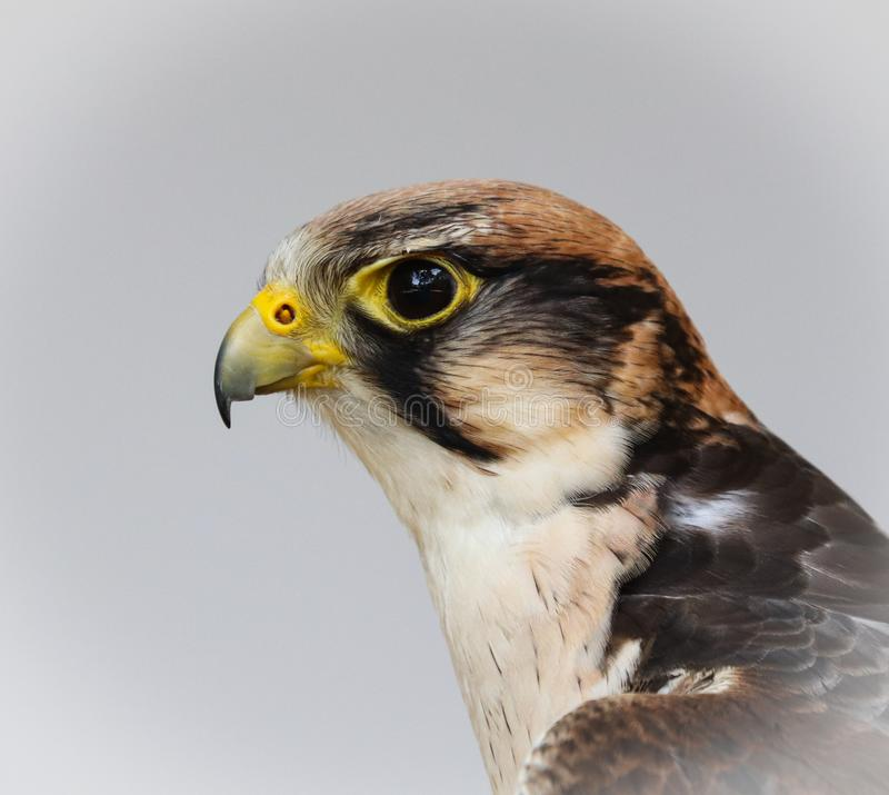 De lannervalk, Falco-biarmicus stock foto's