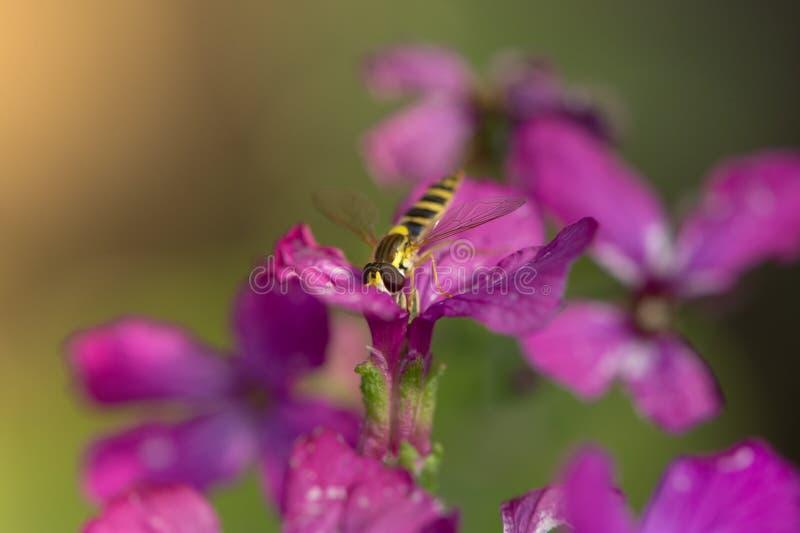 De largo hoverfly (Sphaerophoria Scripta) flor de polinización imágenes de archivo libres de regalías