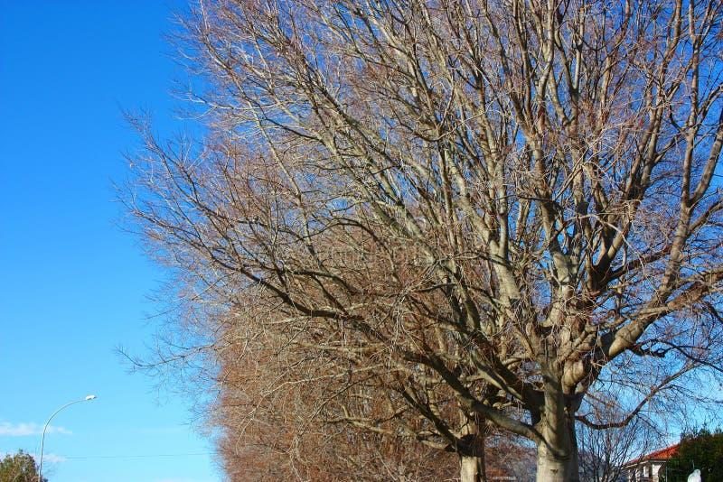 De largo, ramas secas de un árbol desnudo alto contra un cielo azul imágenes de archivo libres de regalías