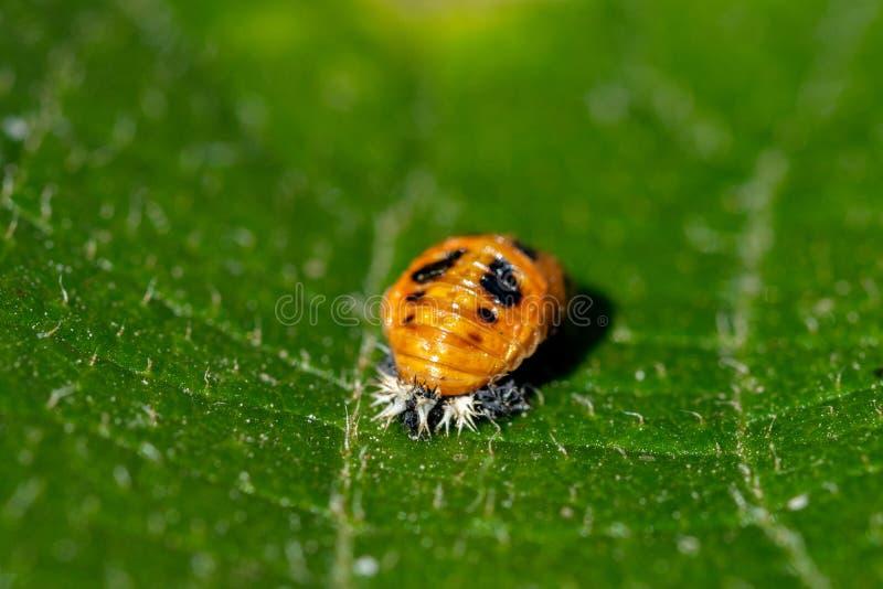 De larve die van onzelieveheersbeestjepoppen op het blad van een kiwiboom rusten royalty-vrije stock foto's