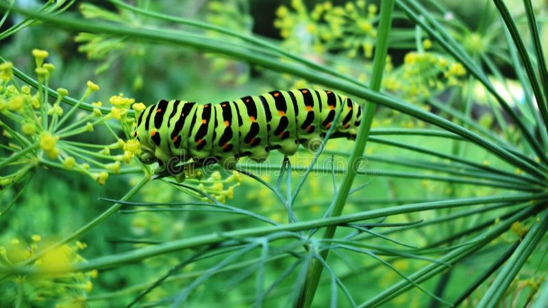 De larve slikt royalty-vrije stock foto's