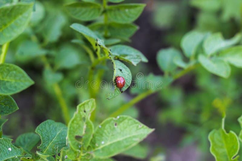 De larve van de coloradokever van Colorado zit op de bladeren van een aardappel en eet het royalty-vrije stock afbeelding