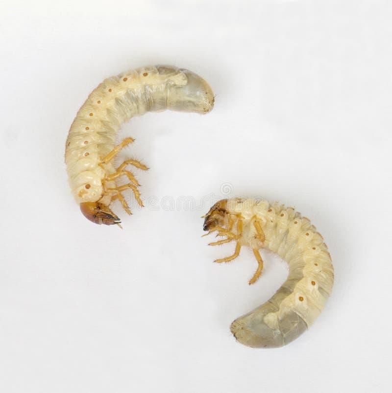 De larve van de cicade stock afbeelding