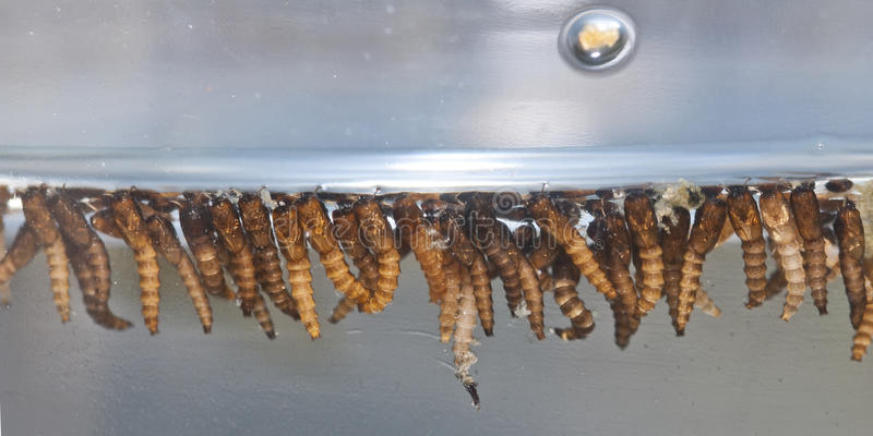 De larve van de mug royalty-vrije stock fotografie