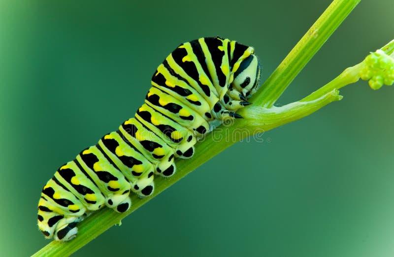 De larve van Swallowtail stock afbeelding