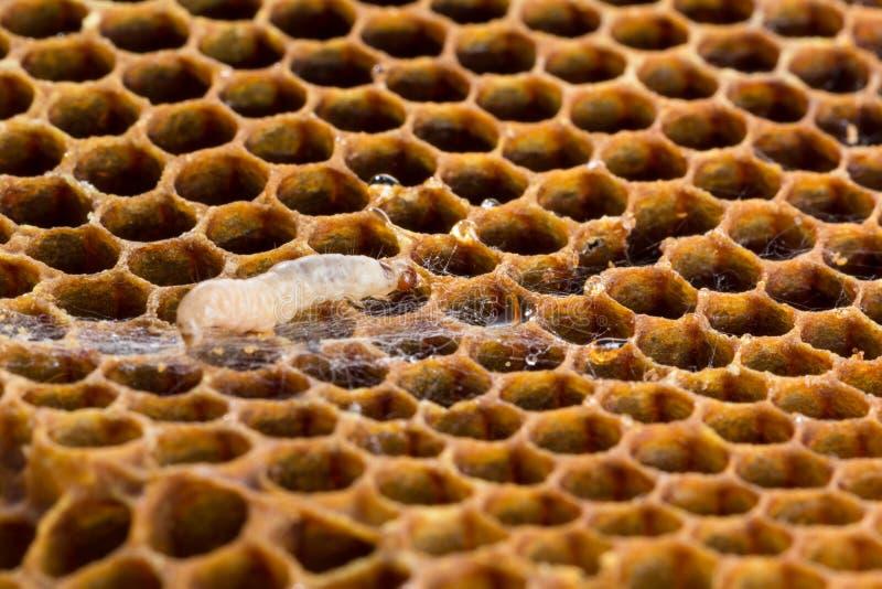 De larven en de Web van de wasmot stock afbeelding