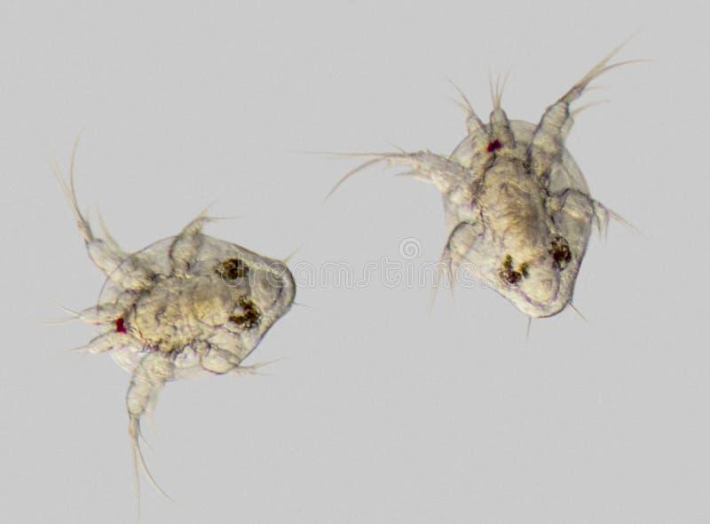 De larven van Cupepodnauplius royalty-vrije stock fotografie