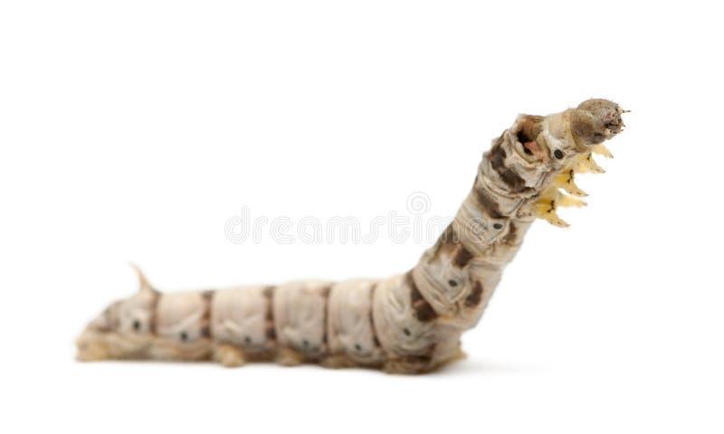 De larven van de zijderups, Bombyx mori stock foto