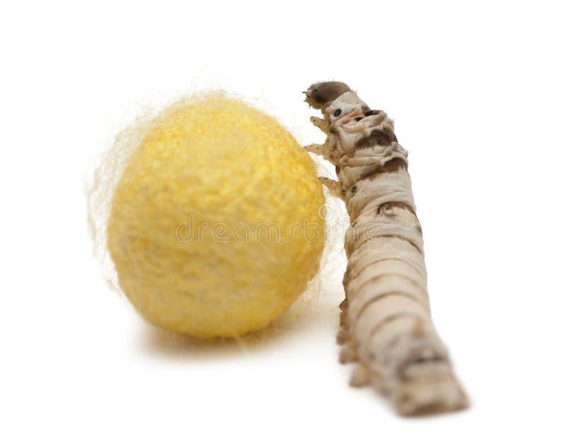 De larven van de zijderups en cocon, Bombyx mori royalty-vrije stock foto