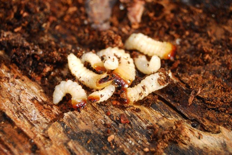 De larven van het insect stock foto