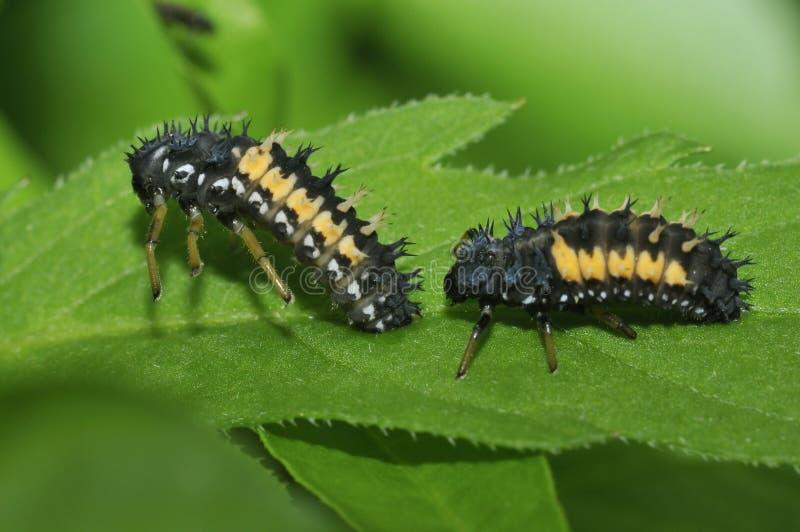 De larven van het Onzelieveheersbeestje van de harlekijn royalty-vrije stock foto