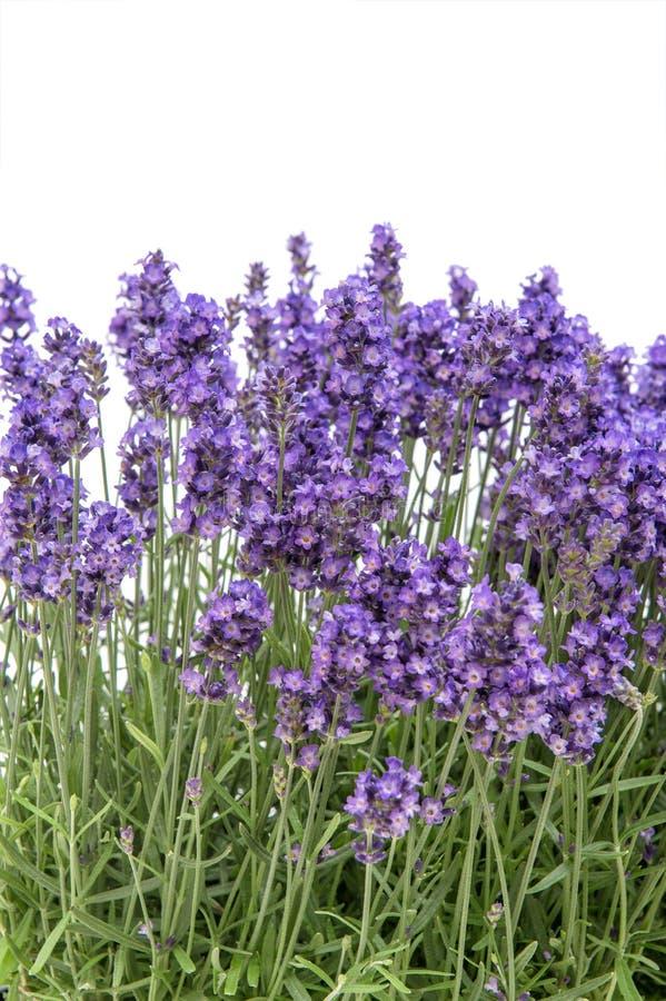 De lavendel bloeit achtergrond van de boeket de Bloemengrens royalty-vrije stock foto's