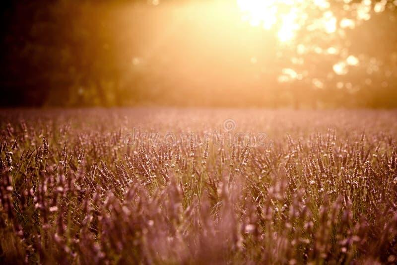 De lavendel bloeit bloeiend gebied royalty-vrije stock afbeelding