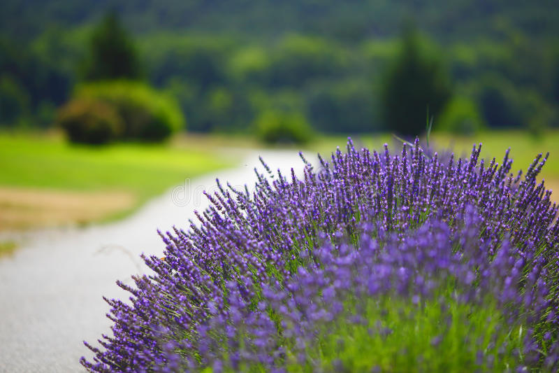 De lavendel bloeit dicht omhoog royalty-vrije stock fotografie