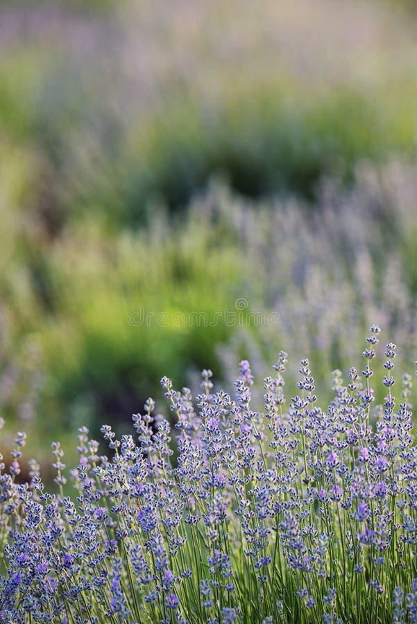 De lavendel bloeit gebied royalty-vrije stock foto