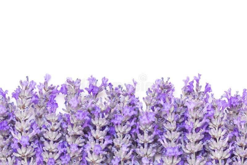 De lavendel bloeit Grens over Witte Achtergrond royalty-vrije stock afbeeldingen