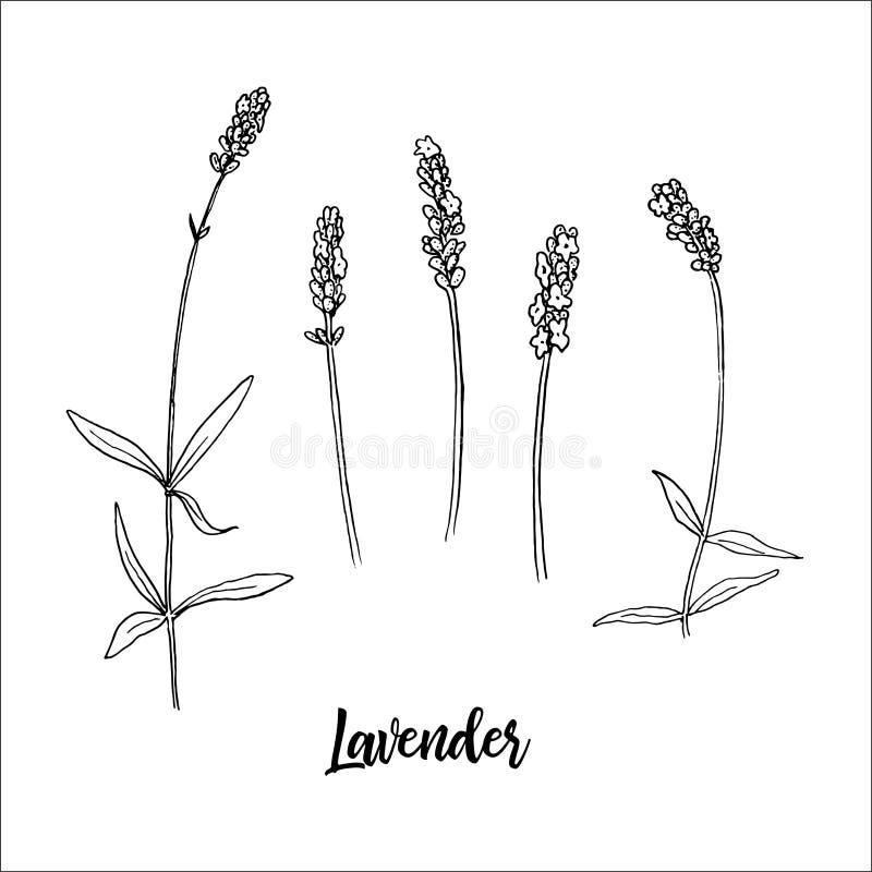 De lavendel bloeit steem en hoofd in bloei Bos van Lavandula-bloemen De schetsstijl van de inktpen Vector illustratie royalty-vrije illustratie