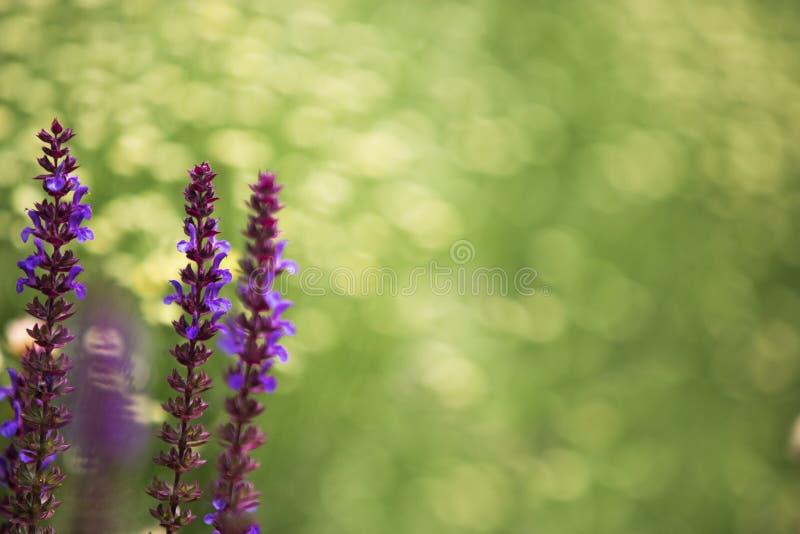 De lavendel, defocused achtergrond stock afbeeldingen