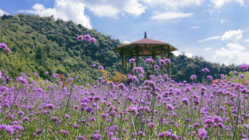 De lavendel is volledig van lavendel op de berg royalty-vrije stock foto