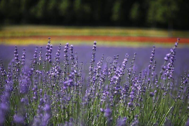 De lavendel wordt gezien in Nakafuano-stad in Hokkaido, noordelijk Japan stock foto