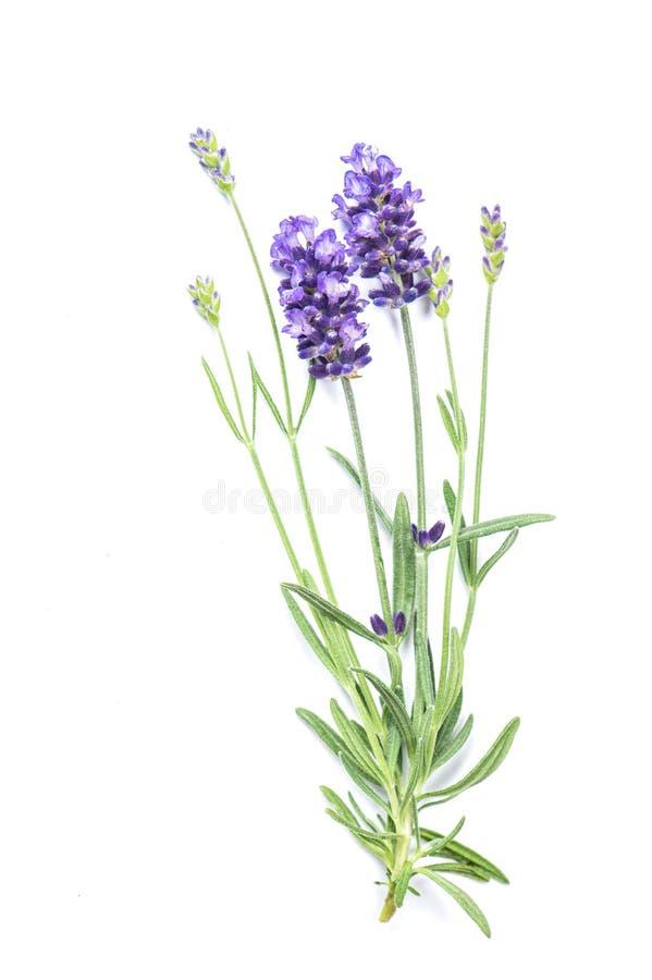 De lavendelbloem isoleerde witte Verse kruiden als achtergrond royalty-vrije stock fotografie
