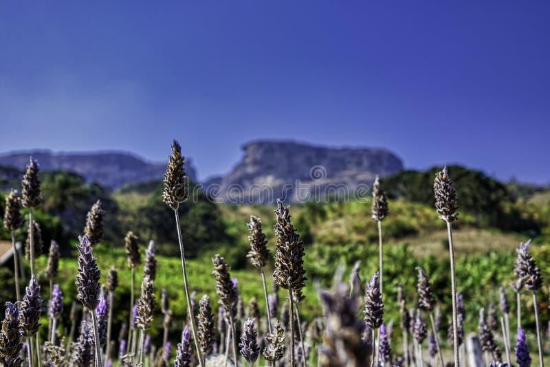 De lavendelinstallatie met de Bau-Steen vertroebelde op de achtergrond op zonnige dag met blauwe hemel in Sao Bento do Sapucai, S stock foto