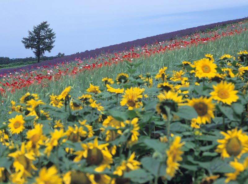 De lavendeltuin van de zonsopgang royalty-vrije stock foto