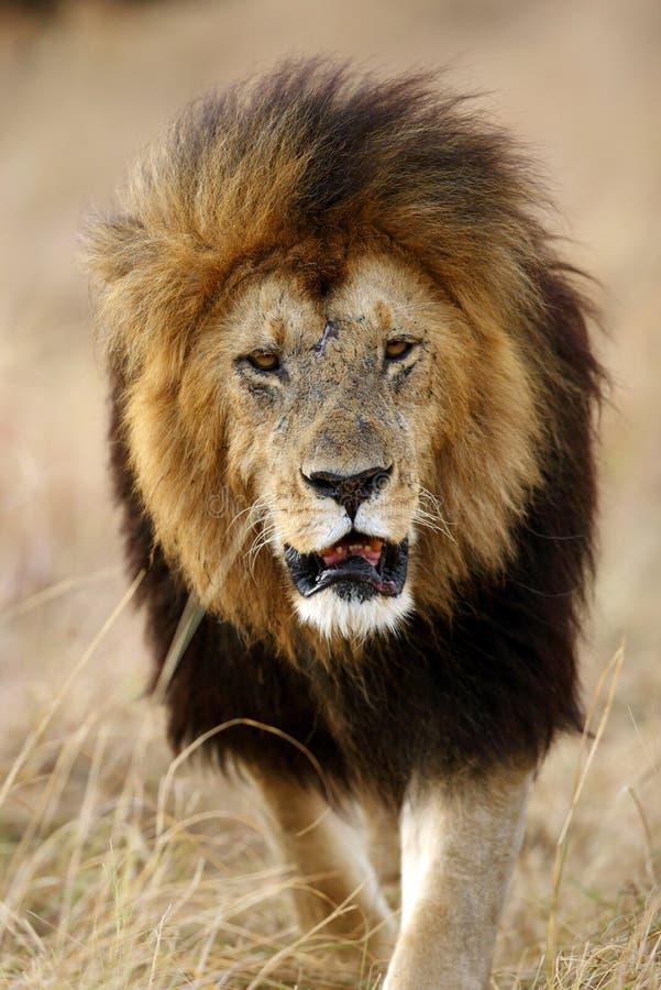 De leeuw is één van grote vier royalty-vrije stock foto