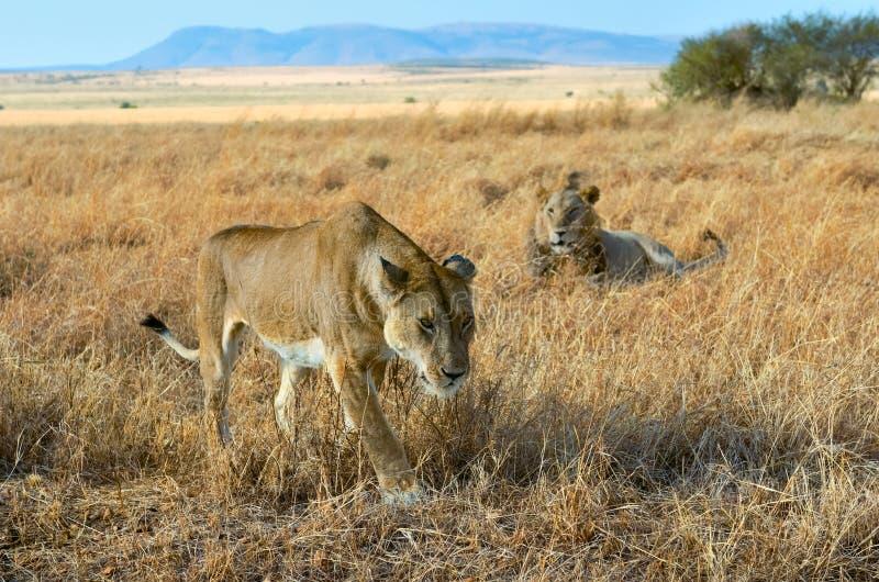 De leeuw en de leeuwin koppelen in savanne, Afrika, Masai Mara in Kenia royalty-vrije stock fotografie